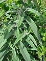 Starr 080117-1980 Salvia leucantha.jpg