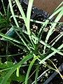 Starr 080117-2156 Allium tuberosum.jpg