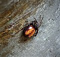Steatoda bipunctata probably (49399159873).jpg