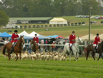 American Foxhound - American Foxhounds at the Atlanta Steeplechase