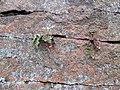 Steinbruch beim Nordmannsturm (Detail).JPG