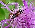 Stenurella Melanura. Female. Cerambycidae (16091681080).jpg
