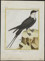 Stercorarius cephus - 1700-1880 - Print - Iconographia Zoologica - Special Collections University of Amsterdam - UBA01 IZ17900178.tif