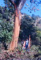 Sterculia villosa tree debarked by elephant AJTJ.tif