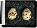 Sterna albifrons MWNH 2167.JPG