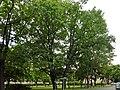 Stieleichen Charlottenstr Berlin-Frf-2014 1473-1353-120.jpg