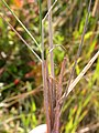 Stipa richardsonii (3877164718).jpg