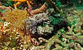 Stonefish (Synanceia verrucosa) (6085839980).jpg