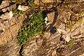 Stormfågel- Northern fulmar-2 - Flickr - Ragnhild & Neil Crawford.jpg