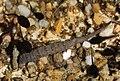 Stratiomys larvae.jpg