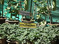 Strawberry plant from lalbagh 2343.JPG