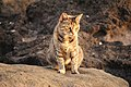 Stray Cat @ Kakaako Park (5608042106).jpg