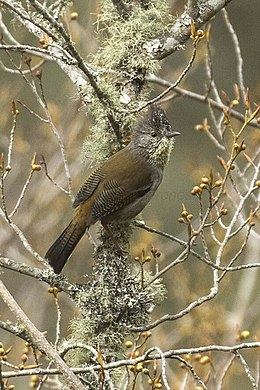 Streak-throated Barwing - Eaglenest - India FJ0A8216 (34129198542).jpg