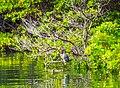 Striated Heron (Butorides striatus) - (16057462104).jpg