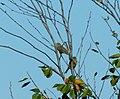 Strnadice žutovoljke (Emberiza citrinella); Yellowhammers.jpg