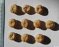 Strychnos henningsii seeds, by Omar Hoftun.jpg