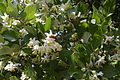 Styrax officinalis flowering.jpg