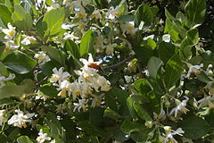 Styrax officinalis