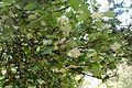 Styrax officinalis kz6.jpg