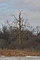 Sugar Maple (Acer saccharum) - Bloomingdale, Ontario.jpg
