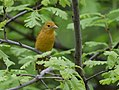 Summer Tanager (33744049553).jpg