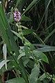 Sumpf-Ziest Stachys palustris 0022.jpg