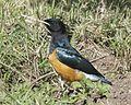 Superb Starling (Lamprotornis superbus) juvenile.jpg