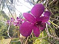 Suvarnabhumi Orchids Farm IMG 20160322 080910 (27412837576).jpg