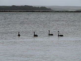 American River, South Australia - Swans at American River