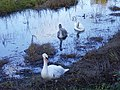 Swans at Far Pasture pond - geograph.org.uk - 270946.jpg