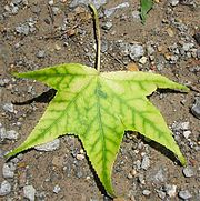 Chorotic Leaf on a Liquid Amber tree