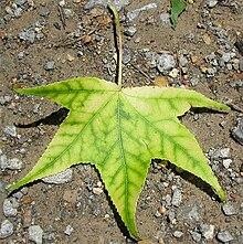 220px-Sweetgum-leaf-interveinal-chlorosis.jpg