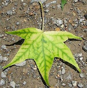 Chlorosis - A Liquidambar leaf with interveinal chlorosis