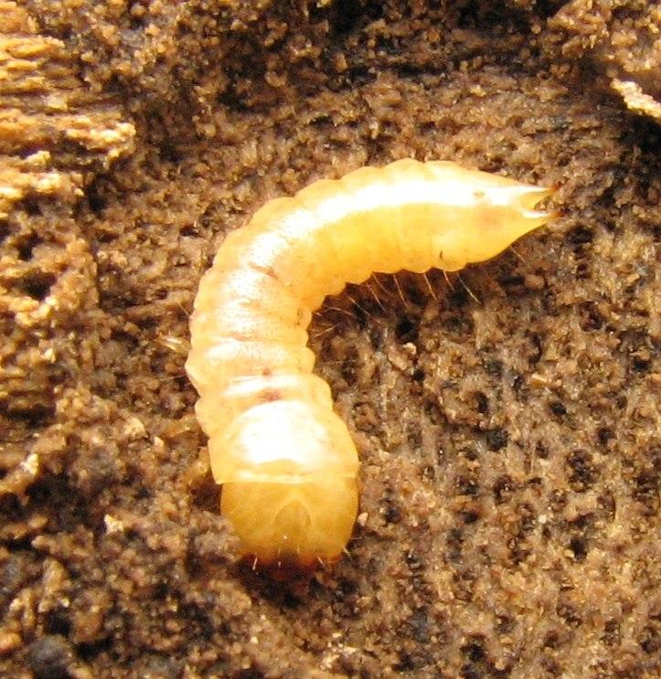 Synchroa punctata larva