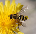 Syrphidae kukkakärpänen.jpg