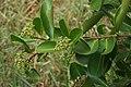 Syzygium caryophyllatum 09584.jpg