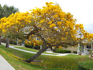 Martin County, Florida - Tabebuia off Savanna Road in Jensen Beach. April 2010. Typical of such trees blooming throughout Martin county in the spring