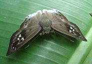 Tagiades parra from Mindanao, Philippines 4.jpg