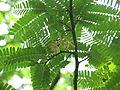 Tamarindus indica06.JPG