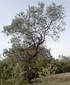 Tamarix orientalis.jpg