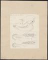 Tapirus spec. - schedel en kaak - 1700-1880 - Print - Iconographia Zoologica - Special Collections University of Amsterdam - UBA01 IZ22000303.tif