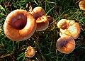 Tawny Funnel Lepista flaccida (49054533738).jpg