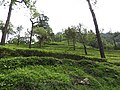 Tea plantation-1-manjolai-tirunelveli-India.jpg