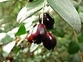 Temu (Blepharocalyx cruckshanksii) - fruits (Inao Vásquez) 001.jpg