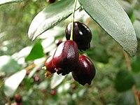 Temu (Blepharocalyx cruckshanksii) - fruits (Inao Vásquez) 001