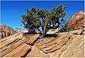 Tenacious! Zion N.P., Canyon Overlook Trail 4-30-14zk (14098951787).jpg