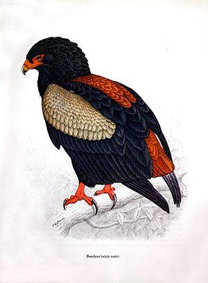 C. G. Finch-Davies - Terathopius ecaudatus Original plate by CG Finch-Davies