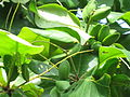 Terminalia catappa - Indian Badam 07.JPG