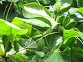 Terminalia catappa - Indian Badam 07.JPG