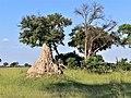 Termite mound Okavango Delta.jpg
